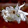 Star magnolia flowers, spring, Phippsburg Maine
