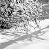 Corylis contorta, Harry Lauder's Walking Stick small ornamental tree in fresh winter snow with crisp shadows, black and white. Winter garden scene