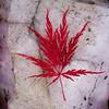 Inaba Shidare, Japanese maple leaf on rose quartz, PHippsburg, Maine coastal garden, fall