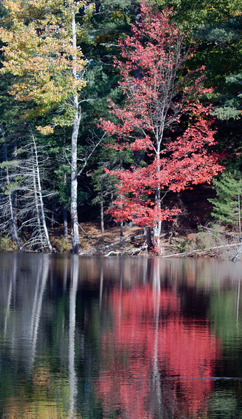 red and gold with Birch trees, Fall foliage reflected in pond, Birch Point, West Bath, Maine, autumn. Lovely red and gold colors