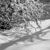 Shadow cast on winter snow from snow laden branches of Harry Lauder's Walking Stick in my coastal Maine, Phippsburg garden