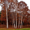 Birch trees in fall foliage, Phippsburg, Maine, autumn scenic