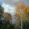 fall foliage on birches and oaks with pruned, manicured balsam, spruce and hemlock, granite bench, my Phippsburg, Maine coastal garden