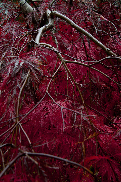 Inaba Shidare, Japanese maple in glorious, red fall color, my coastal Maine Phippsburg garden
