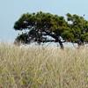 Maritime Pitch pine with dune grass, Popham Beach State Park, Phippsburg, Maine