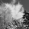 Birch and Spruce trees with fresh snow, skyscape Maine Phippsburg scenic in black and white, winter