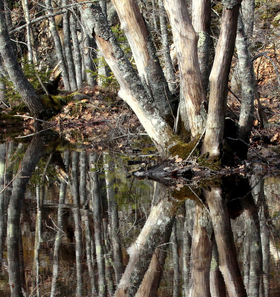 Swamp Reflections, reflections of maple tree trunks in water, Phippsburg, Maine