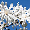 Flowers of Star Magnolia. Magnolia Stellata is one our earliest blooming trees here in coastal Maine. It starts blooming in April in coastal Phippsburg,