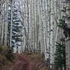 Aspens, populus tremuloides, gorgeous, stately, lithesome trees
