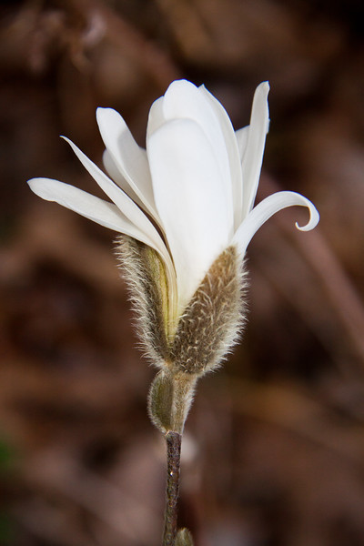 Star Magnolia, Magnolia Stellata but opening to nearly blooming white flower, Phippsburg, Maine garden in spring, April
