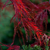 red, Japanese maple leaves Phippsburg, Maine coastal garden in fall, Inaba Shidare