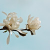 blossoms of Star Magnolia, Magnolia stellata, PHippsburg, Maine floral scenic with blue sky