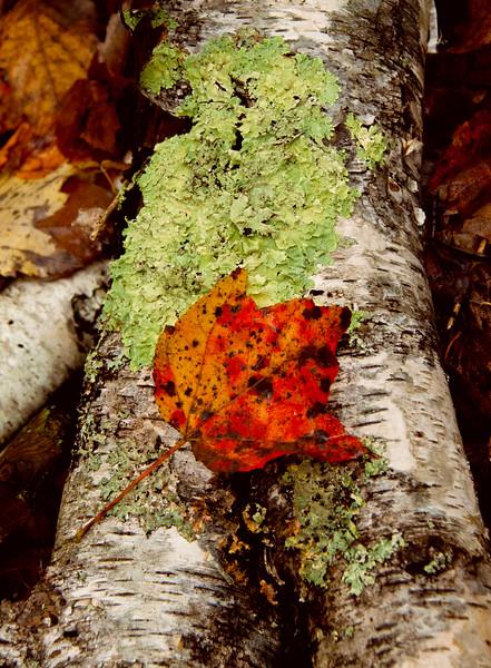 Orange maple leaf on birch bark with green lichen. Woodland scene, Phippsburg Maine