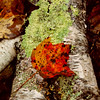 Orange maple leaf on birch bark with green lichen. Woodland scene, Phippsburg Maine