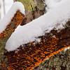 orange lichen on tree bark with fresh snow, PHIppsburg, Maine winter