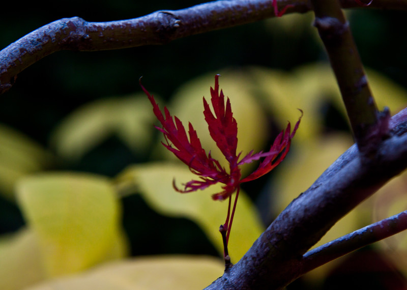 The lone leaf in fall color of a Japanese Maple in my gardens with the leaves of Buckeye behind it in yellow. I don't know the variety of maple as it was a rescue from a property which had changed ownership. The tree was going to be bulldozed.
