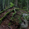 tree roots covered in moss trailing over granite boulder in the woods in Phippsburg Maine. This is a classic Maine woods scene.