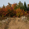 Tote road through dry meadow grasses with fall foliage in gold, orange and yellow, with some conifers on the right. The white flowers are indigenous wildflowers, Pearly Everlasting. These dry beautifully and true to their name, are everlasting.