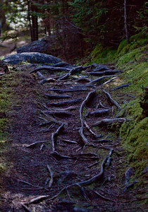 tree roots and moss. The roots are worn smooth from foot traffic on the path through the forest, Maine. It looks like Hobbits should maybe live there.