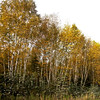 Poplars, Populus tremulouides, also known as Quaking Aspens in golden yellow fall foliage, Rockwood, Maine