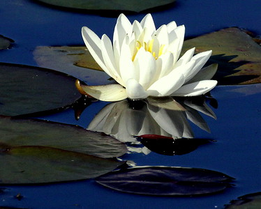 WATER LILIES Of Maine