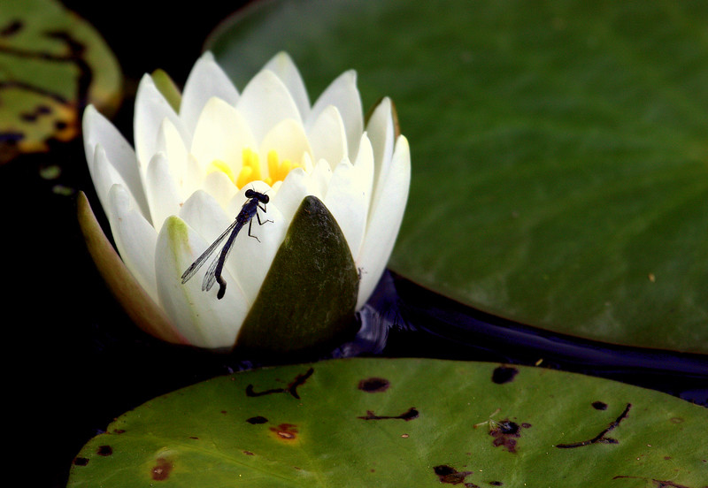 Water Lily With Dragon Fly