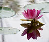 Tropical waterlily with reflection, Maine coastal garden