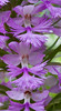 Platanthera grandiflora, Greater Purple Fringed orchid, a rare and endangered  indigenous orchid in Phippsburg, Maine