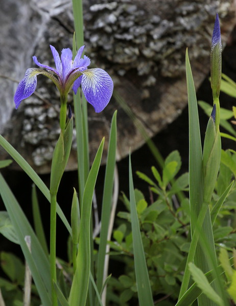 """Blue Flag Iris wildflower, Maine, native, indigenous, nature,  wildflower, Maine, native, indigenous, nature,  , For a list of protected and endangered wildflowers in Maine see <a href=""""http://plants.usda.gov/java/threat"""">http://plants.usda.gov/java/threat</a>   Wildflowers should be left undisturbed where they are found. To uproot and attempt to transplant them puts the species at risk. Wildflowers are dependent on very specific soil, water and light requirements which a home gardener can rarely reproduce."""