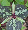 """red trillium, Trillium recurvatum, Trillium reliquum (endangered), Wake Robin,also called Stinking Charlie for its odor which some say is like rotting meat, an indigenous Maine wildflower, woodlands Phippsburg  , For a list of protected and endangered wildflowers in Maine see <a href=""""http://plants.usda.gov/java/threat"""">http://plants.usda.gov/java/threat</a>   Wildflowers should be left undisturbed where they are found. To uproot and attempt to transplant them puts the species at risk. Wildflowers are dependent on very specific soil, water and light requirements which a home gardener can rarely reproduce."""
