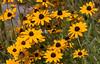 Rudbeckia fulgida, Black Eyed Susans are native Maine wildflowers. They are abundant in coastal Maine in July.