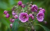 """Kalmia, also called Mountain Laurel is indigenous to Maine It is a summer bloomer. Kalmia augustiflora is also called Sheepkill as it is poisonous to sheep.  , For a list of protected and endangered wildflowers in Maine see <a href=""""http://plants.usda.gov/java/threat"""">http://plants.usda.gov/java/threat</a>   Wildflowers should be left undisturbed where they are found. To uproot and attempt to transplant them puts the species at risk. Wildflowers are dependent on very specific soil, water and light requirements which a home gardener can rarely reproduce."""