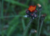"""Pilosella aurantiaca, Devil's Paintbrush wildflower, Maine, native, indigenous, nature,  wildflower, Maine, native, indigenous, nature,  , For a list of protected and endangered wildflowers in Maine see <a href=""""http://plants.usda.gov/java/threat"""">http://plants.usda.gov/java/threat</a>   Wildflowers should be left undisturbed where they are found. To uproot and attempt to transplant them puts the species at risk. Wildflowers are dependent on very specific soil, water and light requirements which a home gardener can rarely reproduce."""