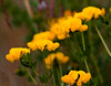 """Bird's Foot Trefoil<br /> wildflower, Maine, native, indigenous, nature,  wildflower, Maine, native, indigenous, nature,  , For a list of protected and endangered wildflowers in Maine see <a href=""""http://plants.usda.gov/java/threat"""">http://plants.usda.gov/java/threat</a>   Wildflowers should be left undisturbed where they are found. To uproot and attempt to transplant them puts the species at risk. Wildflowers are dependent on very specific soil, water and light requirements which a home gardener can rarely reproduce."""