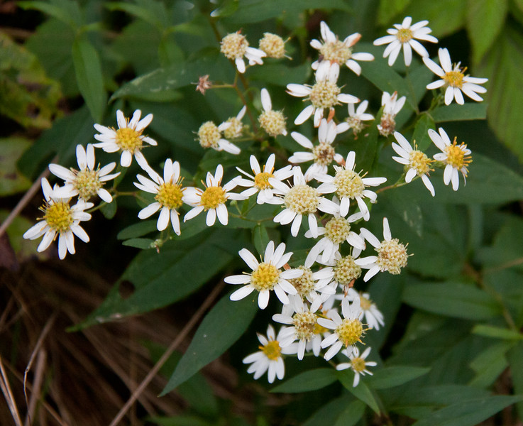 "white Wood asters, Aster divaricatus, Phippsburg Maine  , For a list of protected and endangered wildflowers in Maine see <a href=""http://plants.usda.gov/java/threat"">http://plants.usda.gov/java/threat</a>   Wildflowers should be left undisturbed where they are found. To uproot and attempt to transplant them puts the species at risk. Wildflowers are dependent on very specific soil, water and light requirements which a home gardener can rarely reproduce."