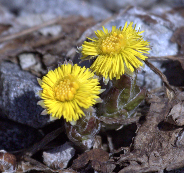 """Tusilago farfara <br /> wildflower, Maine, native, indigenous, nature,  wildflower, Maine, native, indigenous, nature,  , For a list of protected and endangered wildflowers in Maine see <a href=""""http://plants.usda.gov/java/threat"""">http://plants.usda.gov/java/threat</a>   Wildflowers should be left undisturbed where they are found. To uproot and attempt to transplant them puts the species at risk. Wildflowers are dependent on very specific soil, water and light requirements which a home gardener can rarely reproduce."""