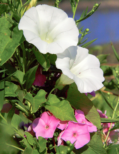 """Bind Weed And Phlox wildflower, Maine, native, indigenous, nature,  wildflower, Maine, native, indigenous, nature,  , For a list of protected and endangered wildflowers in Maine see <a href=""""http://plants.usda.gov/java/threat"""">http://plants.usda.gov/java/threat</a>   Wildflowers should be left undisturbed where they are found. To uproot and attempt to transplant them puts the species at risk. Wildflowers are dependent on very specific soil, water and light requirements which a home gardener can rarely reproduce."""