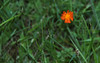 """Indian Paintbrush, Single Pilosella aurantiaca, Devil's Paintbrush wildflower, Maine, native, indigenous, nature,  wildflower, Maine, native, indigenous, nature,  , For a list of protected and endangered wildflowers in Maine see <a href=""""http://plants.usda.gov/java/threat"""">http://plants.usda.gov/java/threat</a>   Wildflowers should be left undisturbed where they are found. To uproot and attempt to transplant them puts the species at risk. Wildflowers are dependent on very specific soil, water and light requirements which a home gardener can rarely reproduce."""