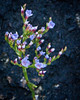 """Sea Lavender wildflower, Maine, native, indigenous, nature,  wildflower, Maine, native, indigenous, nature,  , For a list of protected and endangered wildflowers in Maine see <a href=""""http://plants.usda.gov/java/threat"""">http://plants.usda.gov/java/threat</a>   Wildflowers should be left undisturbed where they are found. To uproot and attempt to transplant them puts the species at risk. Wildflowers are dependent on very specific soil, water and light requirements which a home gardener can rarely reproduce."""