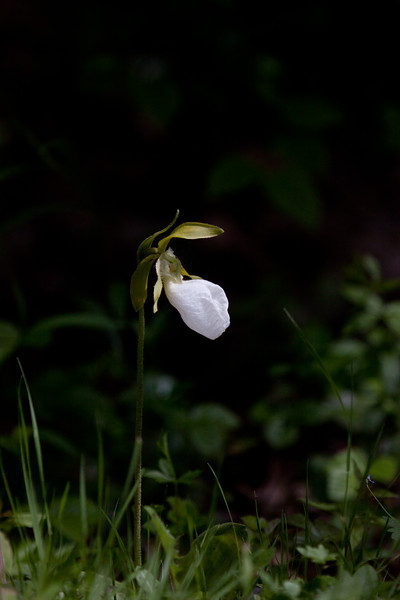 """White Lady Slipper wildflower, Maine, native, indigenous, nature,  wildflower, Maine, native, indigenous, nature,  , For a list of protected and endangered wildflowers in Maine see <a href=""""http://plants.usda.gov/java/threat"""">http://plants.usda.gov/java/threat</a>   Wildflowers should be left undisturbed where they are found. To uproot and attempt to transplant them puts the species at risk. Wildflowers are dependent on very specific soil, water and light requirements which a home gardener can rarely reproduce."""