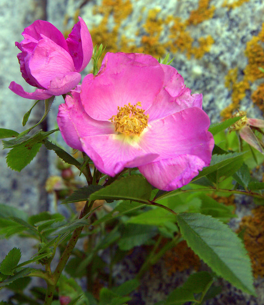 """Beach Rose, also called Virginia Rose, Rosa virginiana,  is a native Maine wildflower. indigenous, nature,  wildflower, Maine, Virginia rose is a native shrub, growing 2 to 6 feet high, with many spreading branches, thorny stems, and attractive flowers. The dark green, toothed leaves turn purplish-red in the fall. The fragrant 2- to 3-inch diameter flowers are pink with yellow centers and bloom from June through August. Many insects that visit the rose blooms for nectar help pollinate the flowers that later become rose hips. The ½-inch-wide rose hips stay on the plant through winter, are edible, are high in Vitamin C and essential fatty acids, are a good food source for many animals, and can be used to make teas and medicines. Virginia rose prefers full sun and well-drained, acidic soil (but can also survive in moist soils). Virginia rose is easy to transplant and grow, is tolerant of salt, and does well under winter conditions, making it a good specimen for seaside planting. The thicket-forming character provides a great hedge and good cover for birds and other animals.  , For a list of protected and endangered wildflowers in Maine see <a href=""""http://plants.usda.gov/java/threat"""">http://plants.usda.gov/java/threat</a>   Wildflowers should be left undisturbed where they are found. To uproot and attempt to transplant them puts the species at risk. Wildflowers are dependent on very specific soil, water and light requirements which a home gardener can rarely reproduce."""