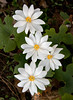 """Bloodroot is a native wildlfower that grows in the woods. It is a true spring ephemeral dissappearing before the leaves on the trees appear.  , For a list of protected and endangered wildflowers in Maine see <a href=""""http://plants.usda.gov/java/threat"""">http://plants.usda.gov/java/threat</a>   Wildflowers should be left undisturbed where they are found. To uproot and attempt to transplant them puts the species at risk. Wildflowers are dependent on very specific soil, water and light requirements which a home gardener can rarely reproduce."""