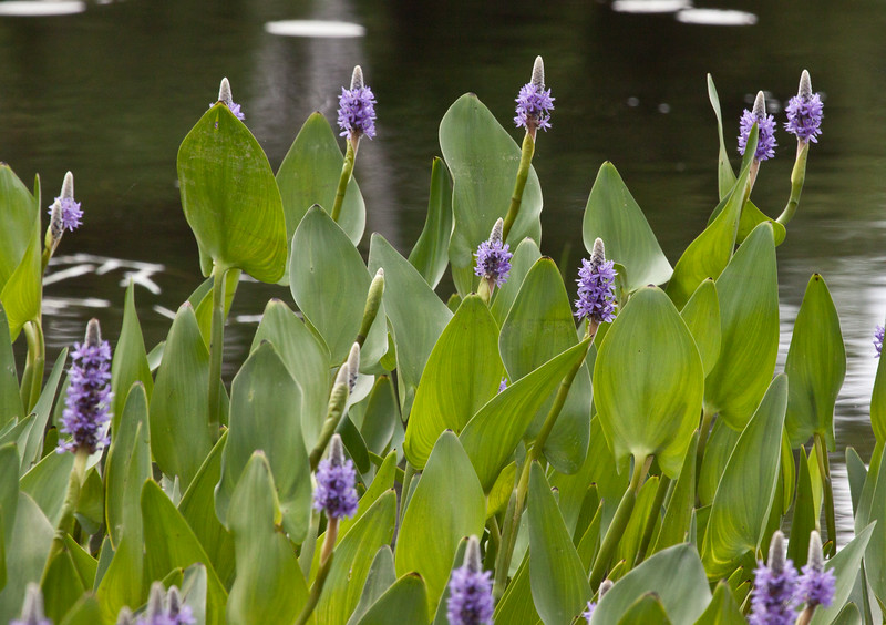 """Pickerel Weed, or Pickerelweed,  Pontederia cordata Lanceolata,<br /> is a native Maine wildflower that grows in wetlands where there is still water. The clusters of spiked flowers and arrow shaped leaves provide habitat for fish and frogs which are then eaten by raccoons, herons and egrets.  , For a list of protected and endangered wildflowers in Maine see <a href=""""http://plants.usda.gov/java/threat"""">http://plants.usda.gov/java/threat</a>   Wildflowers should be left undisturbed where they are found. To uproot and attempt to transplant them puts the species at risk. Wildflowers are dependent on very specific soil, water and light requirements which a home gardener can rarely reproduce."""