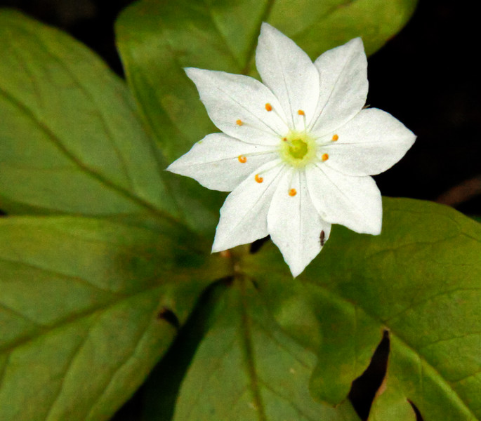 """White wildflower Maine, Trientalis borealis, Starflower or Star Anemone, a spring ephemeral in Phippsburg Maine often seen on the margins of woodlands  , For a list of protected and endangered wildflowers in Maine see <a href=""""http://plants.usda.gov/java/threat"""">http://plants.usda.gov/java/threat</a>   Wildflowers should be left undisturbed where they are found. To uproot and attempt to transplant them puts the species at risk. Wildflowers are dependent on very specific soil, water and light requirements which a home gardener can rarely reproduce."""