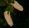 """Choke Cherry<br /> wildflower, Maine, native, indigenous, nature,  wildflower, Maine, native, indigenous, nature,  , For a list of protected and endangered wildflowers in Maine see <a href=""""http://plants.usda.gov/java/threat"""">http://plants.usda.gov/java/threat</a>   Wildflowers should be left undisturbed where they are found. To uproot and attempt to transplant them puts the species at risk. Wildflowers are dependent on very specific soil, water and light requirements which a home gardener can rarely reproduce."""