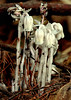 """Indian Pipes wildflower, Maine, native, indigenous, nature,  wildflower, Maine, native, indigenous, nature,  , For a list of protected and endangered wildflowers in Maine see <a href=""""http://plants.usda.gov/java/threat"""">http://plants.usda.gov/java/threat</a>   Wildflowers should be left undisturbed where they are found. To uproot and attempt to transplant them puts the species at risk. Wildflowers are dependent on very specific soil, water and light requirements which a home gardener can rarely reproduce."""
