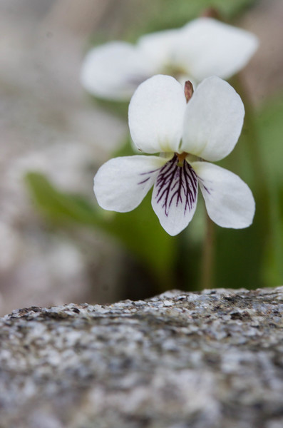 Northern White Violet<br /> (Viola macloskeyi)<br /> (formerly Viola pallens)