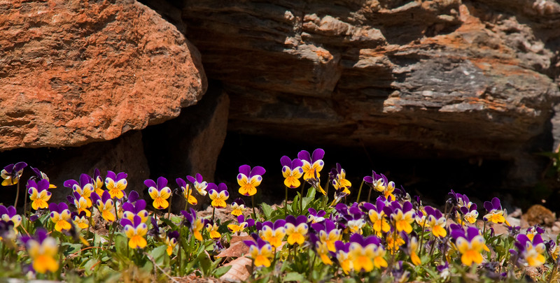 """, For a list of protected and endangered wildflowers in Maine see <a href=""""http://plants.usda.gov/java/threat"""">http://plants.usda.gov/java/threat</a>   Wildflowers should be left undisturbed where they are found. To uproot and attempt to transplant them puts the species at risk. Wildflowers are dependent on very specific soil, water and light requirements which a home gardener can rarely reproduce."""