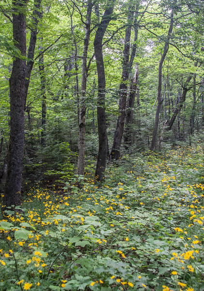 Yellow Hawkweed lined road to Baxter State Park, Maine mid July