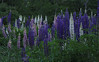 """Lupines<br /> wildflower, Maine, native, indigenous, nature,  wildflower, Maine, native, indigenous, nature,  , For a list of protected and endangered wildflowers in Maine see <a href=""""http://plants.usda.gov/java/threat"""">http://plants.usda.gov/java/threat</a>   Wildflowers should be left undisturbed where they are found. To uproot and attempt to transplant them puts the species at risk. Wildflowers are dependent on very specific soil, water and light requirements which a home gardener can rarely reproduce."""